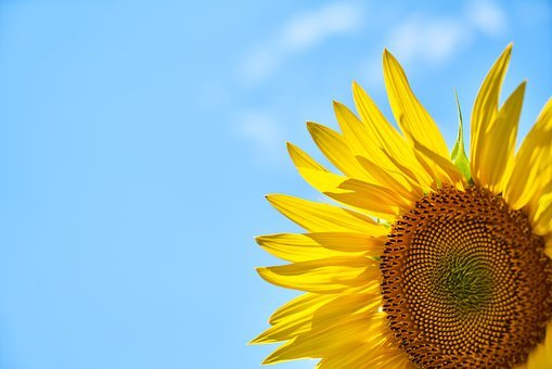Sunflower, Yellow, Core, Blue, Sky, Grains, Summer