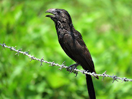 Groove-billed Ani, Groove, Ani, Bird, Feather, Animal