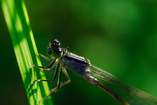 Odonata, Coenagrionidae, Running Needless To, Herb