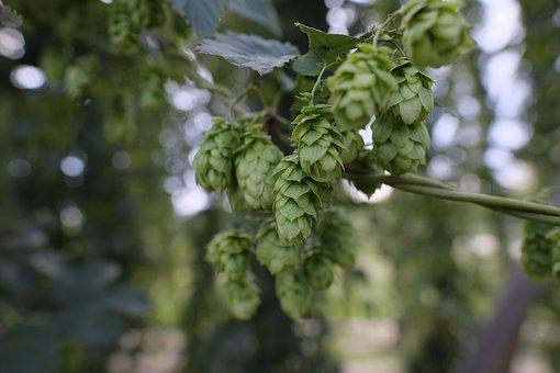 Hops, Hops Flower, Hop Plant, Spice, Beer, Brew