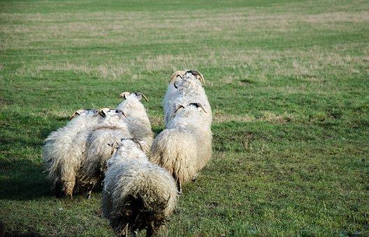 Ireland, Sheep, Buck, Animals, Wool, Landscape, Farm