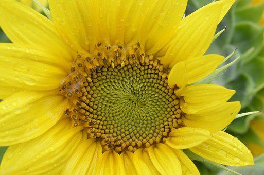 Sunflower, Golden Ratio, Law, Yellow