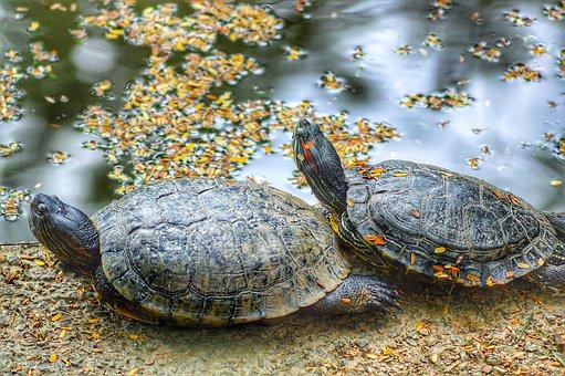 Turtle, Animal, Reptile, Nature, Mar, Turtles