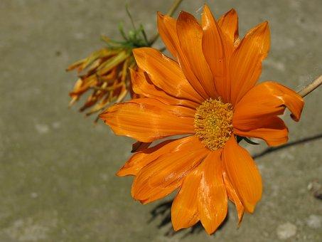 Summer, Margaret, Flowers, Flower, Nature, Spring