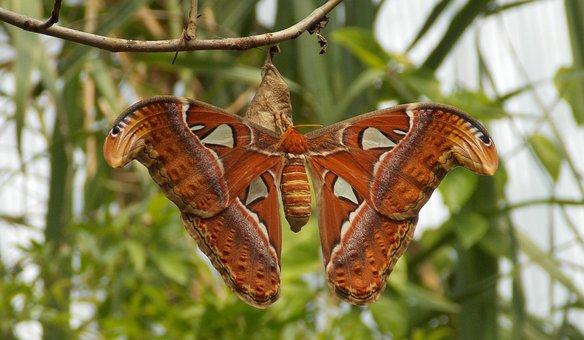 Atlas Butterfly, Butterfly, Moth, Night Moth, Atlas