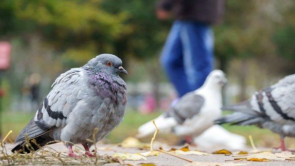 Pigeon, Bird, Animal, Urban, Nature, Park, Feathered