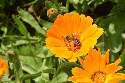 Calendula, Marigold, Flower, Bee, Insect, Pollination