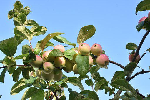 Apples, Ripe, Siberia, Nutrition, Healthy, Fruit, Red