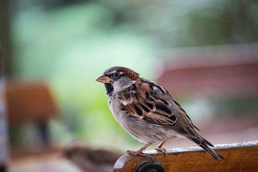 Sparrow, Sperling, Bird, Animal, Animal World, Cheeky