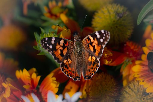 Nature, Butterfly, Peacock, Colorful, Summer, Orange