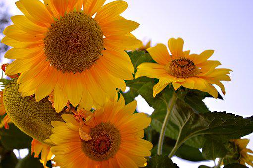 Sunflower, Sun Roses, Flowers, Bloom, Garden, Plant