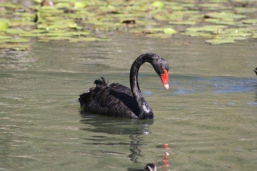 Swan, Bird, Fauna, Black, Red, White, Feathers, Beak