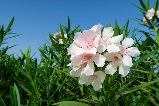 Oleander, White Oleander, White, Flower, Nature, Plant