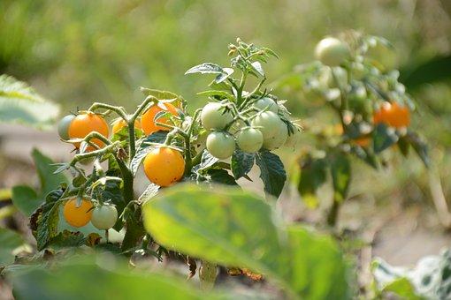 Mini, Paradise, Yellow, Tomato, Vegetables, Nutrition