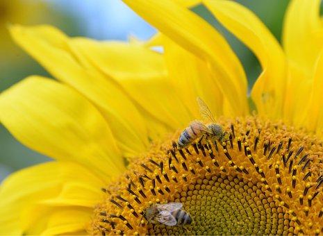Sunflower, Wasps, Yellow