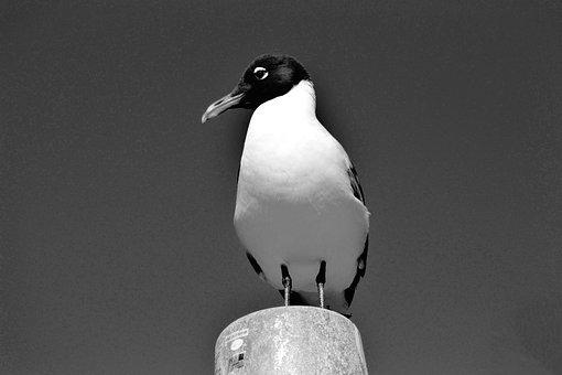 Laughing Gull, Bird, Avian, Waterbird, Tropical Bird