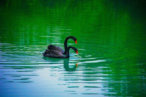 Electronic Hkust, Black Swan, Splash Water