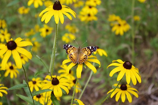 Butterfly On Black-eyed Susan, Black-eyed, Susan