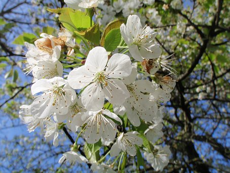 Cherry, Blossom, Bloom, High-stem, Orchard