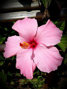 Pink Hibiscus, Rosemallow, Tropical Flower, Blossom
