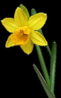 Daffodil, Flower, Stem, Bulb, Garden, Nature