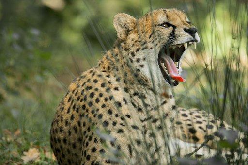 Cheetah, Big Cat, Predator, Wild Animal, Animal