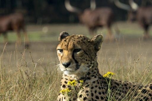 Cheetah, Big Cat, Predator, Nature, Wild Animal