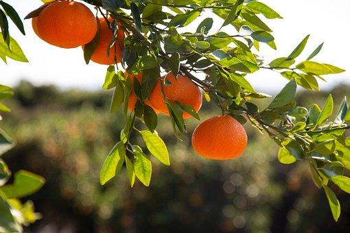 Mandarins, Citrus, Fruit, Tropical