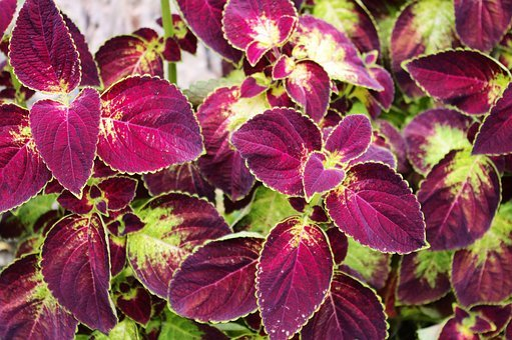 Coleus At Little Norway, Coleus, Plant, Leaves, Foliage