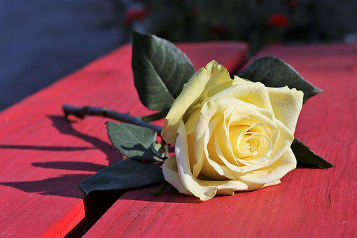 Yellow Rose On Red Bench, Flower, Decoration, Leaves