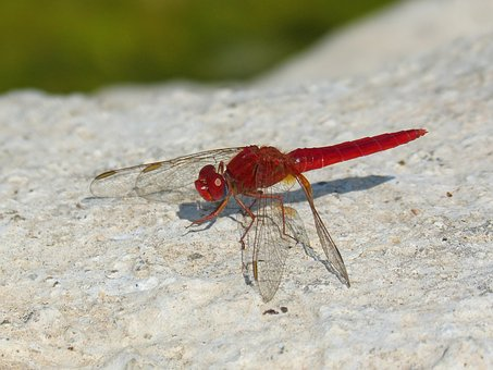Red Dragonfly, Detail, Rock, Pond, Winged Insect