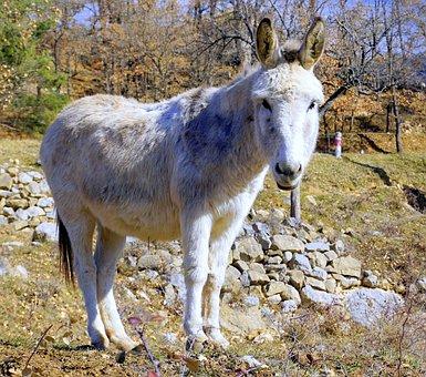 Ass, Animal, Donkey, Mammal, White, Ears, Tamed
