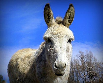 Ass, Donkey, White, Livestock, Head, Ears, Equine, Eye