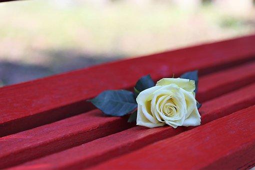 Yellow Rose On Red Bench, Rosa Foetida, Flower