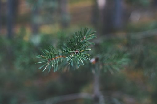Pine, Nature, Forest, Landscape, Branch, Evergreen