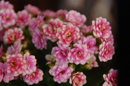 Flowers, Calanchoe, Plant, Nature, Garden