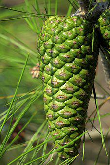 Pine Cones, Green, Closed, Softwood, Needles, Tap