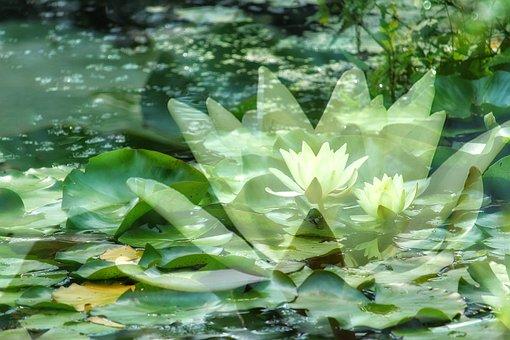 Water Lilies, Lake Rosengewächs, Yellow, Lily Pond
