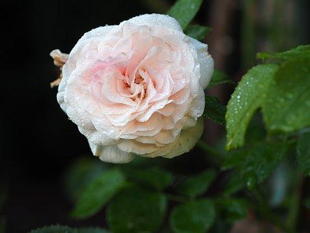 Rose, Love, Mourning, Flower, Romantic, Pink, Petal