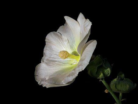 Stock Rose, Mallow, Flower, Plant, Malvaceae