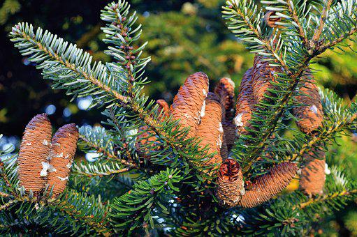 Pine Cones, Fir Tree, Nature, Close Up, Green