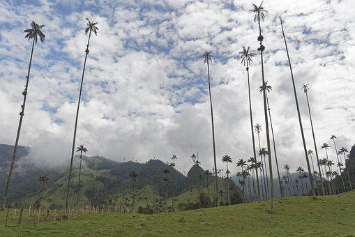 Colombia, Palm Trees, Cocora Valley With Wax Palms