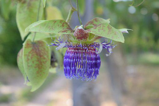 Colombia, Flower, Passiflora