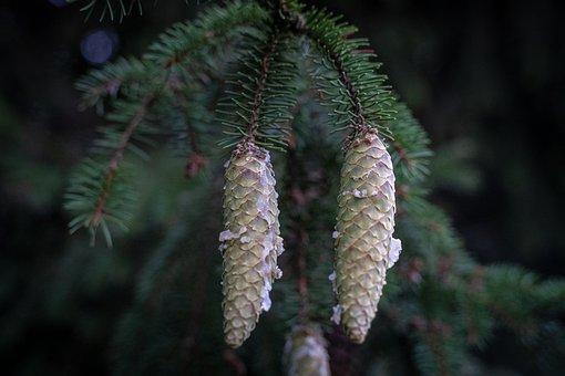 Tap, Pine Cones, Green, White, Hanging, Nature, Tree