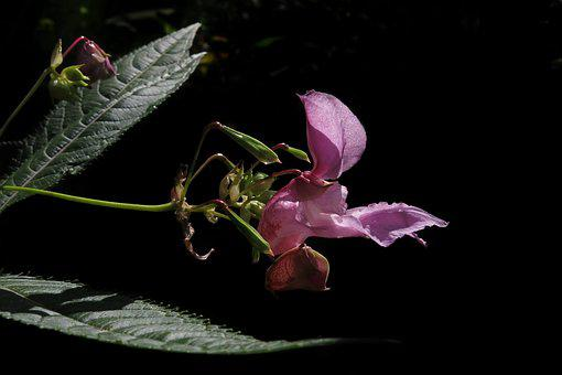 Balsam, Pink Flower, Plant, Close Up, Wild Flower