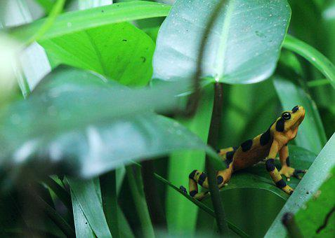 Dart, Frog, Amphibian, Poison, Rainforest, Small