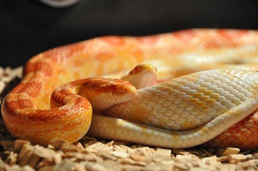 Snakes, Corn Snakes, Reptile, Scale, Terrarium