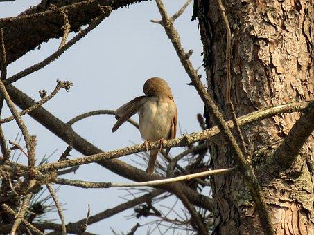 Sparrow, Brown, Bird, Wing, Pine, Tree