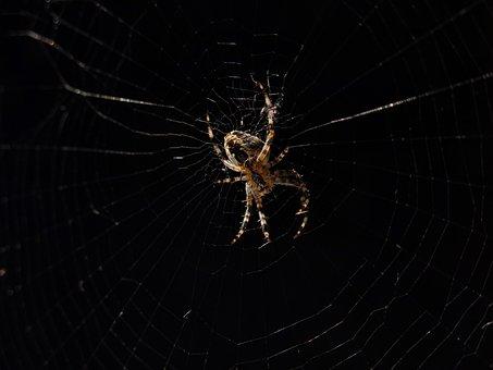 Garden Spider, Spider Of The Year 2010, Araneus, Spider