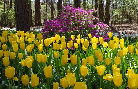 Garvan Woodland Gardens Tulips, Tulips, Woodland
